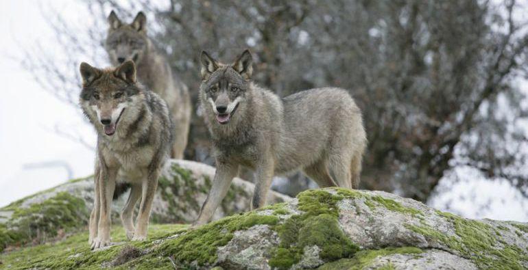 Sólo una decena de lobos ibéricos habitan en el Parque Nacional de la Sierra de Guadarra, que está situado entre las provincias de Segovia y Madrid.