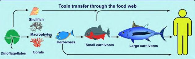 Vías de transmisión de las toxinas producidas por microalgas por ingestión.