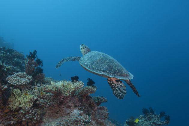 Una tortuga marina nada entre los corales del océano Índico en las Maldivas.
