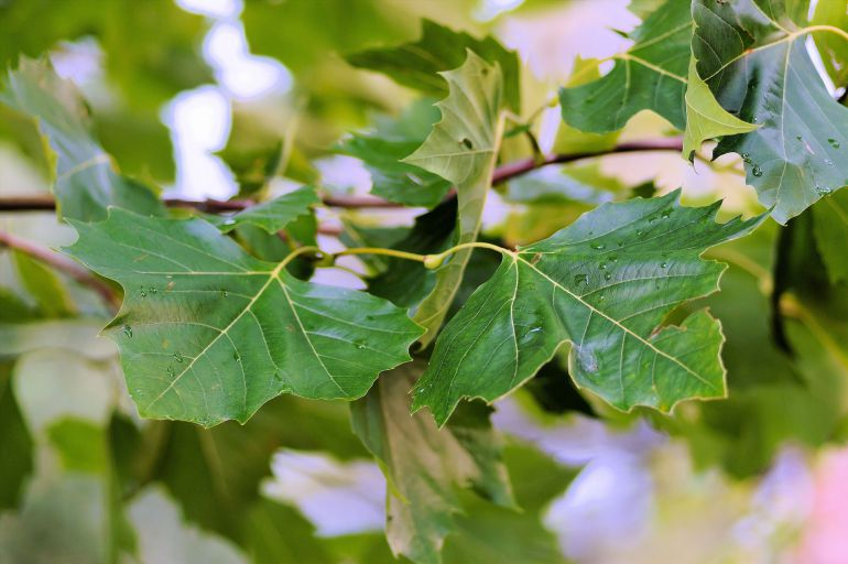Resuelto el misterio del tamaño de las hojas de las plantas ...