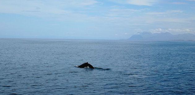 Una ballena sale a la superficie en la bahía de Reikiavik