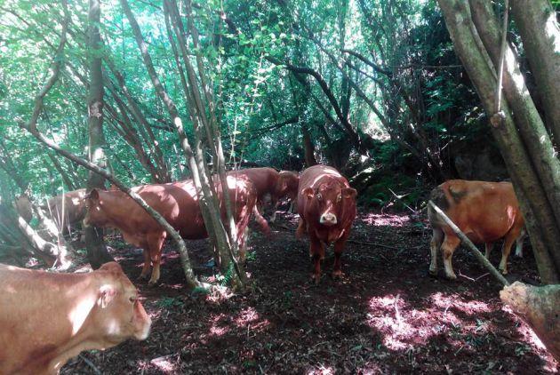 Las vacas de Socabarga, en el bosque.