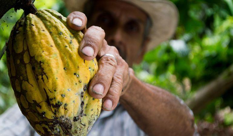 Un hombre recogiendo cacao.