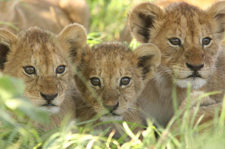 Un zoo sueco admite haber sacrificado 9 cachorros de león por falta de espacio