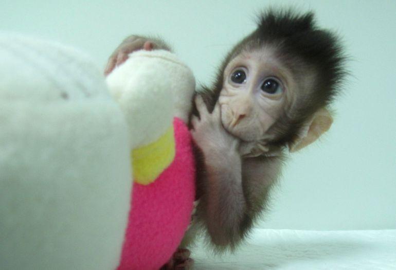 Científicos chinos clonan los primeros monos con la técnica de la oveja Dolly