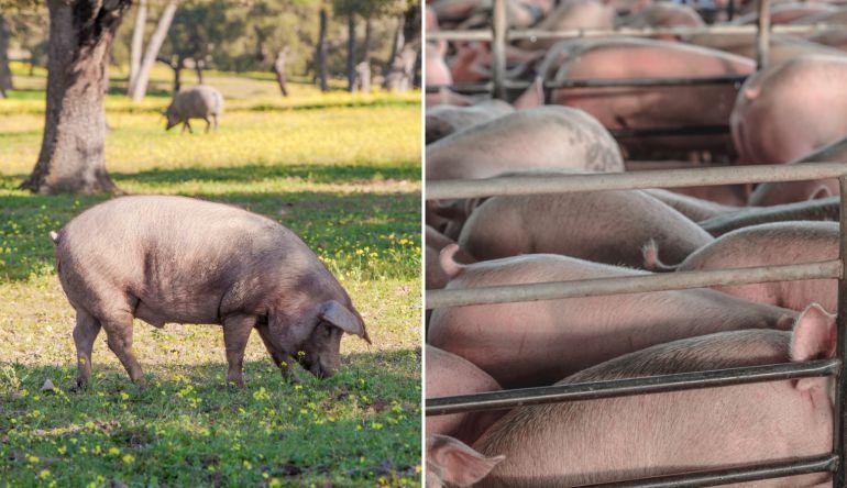 A la izquierda, un cerdo ibérico en la dehesa extremeña. A la derecha, una explotación intensiva.