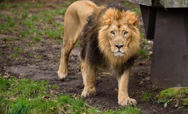 Fotografía de un león macho en el zoo de Londres