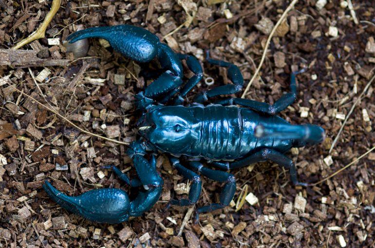 Escorpión azul visto desde arriba