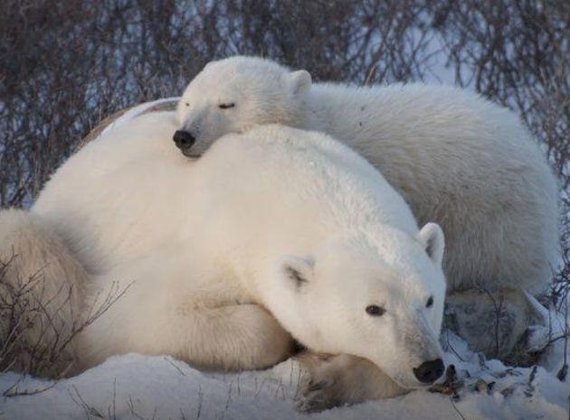 Aventura con osos polares en tour de cinco noches por Churchill desde Winnipeg.