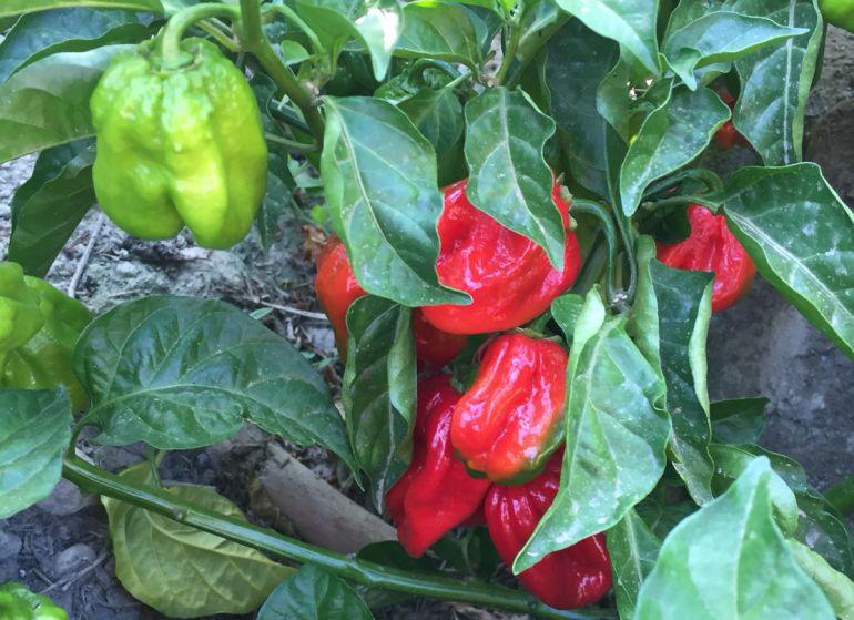 La variedad del chile Carolina Reaper, en su mata.