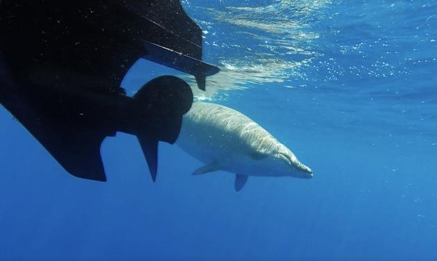 El zifio, un cetáceo similar a la ballena y el delfín