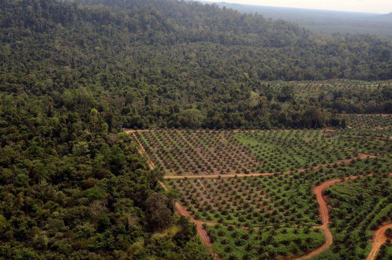 Un informe divulgado hoy por la UICN advierte del grave impacto ecológico del cultivo de plama para producir aceite.