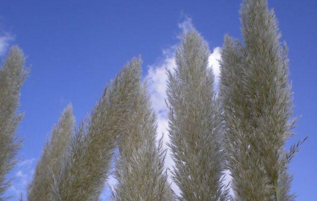 Hierba de la pampa ('Cortaderia selloana').