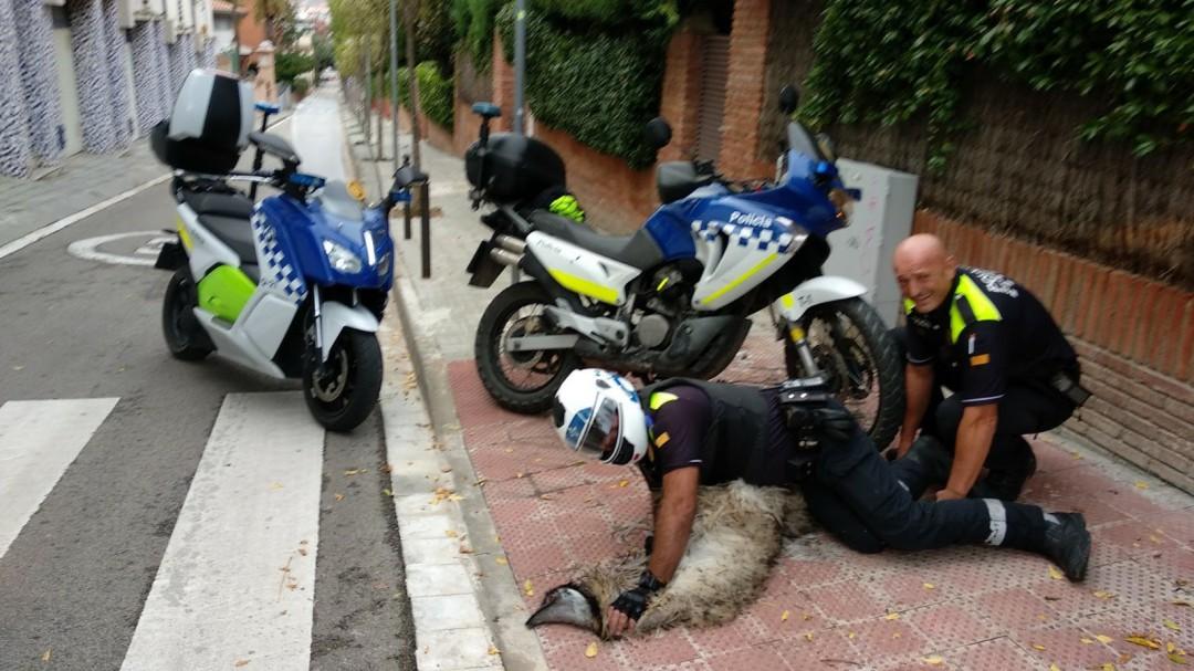 Un emú muere tras pasar horas corriendo por las calles de Sant Cugat
