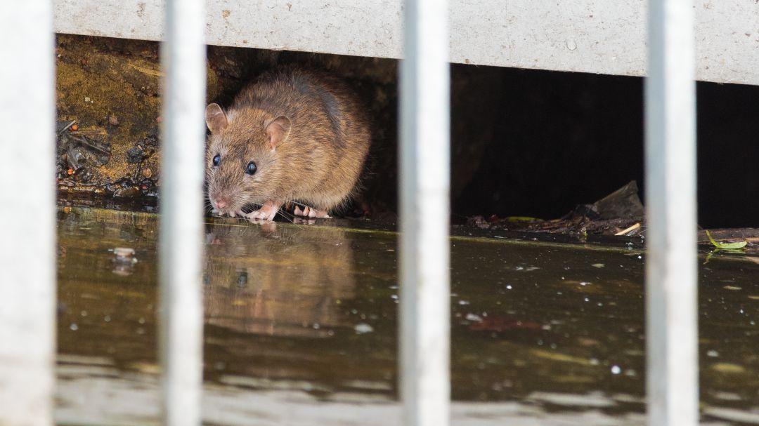 No tienen derechos las ratas de alcantarilla? Las paradojas del ...