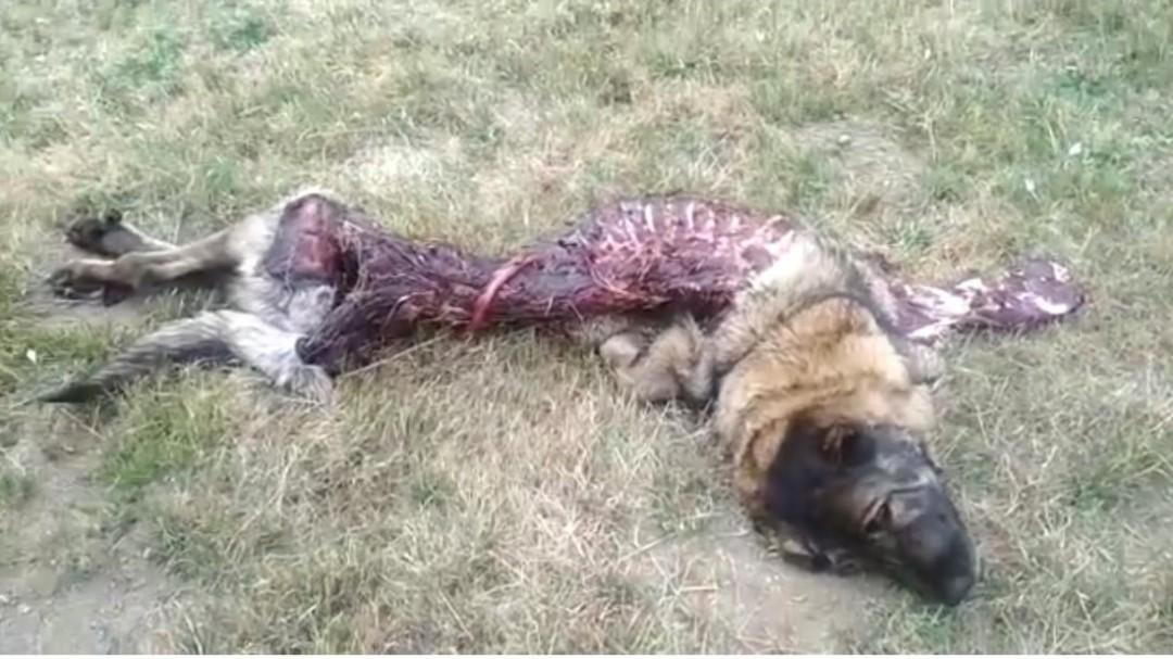 Denuncian el incremento de ataques del lobo en el municipio de Villablino