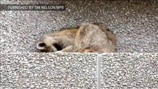 Un mapache conquista Internet tras escalar un rascacielos de 25 plantas