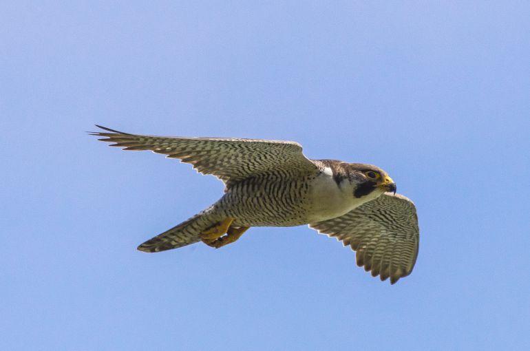 Resultado de imagen para halcones peregrinos