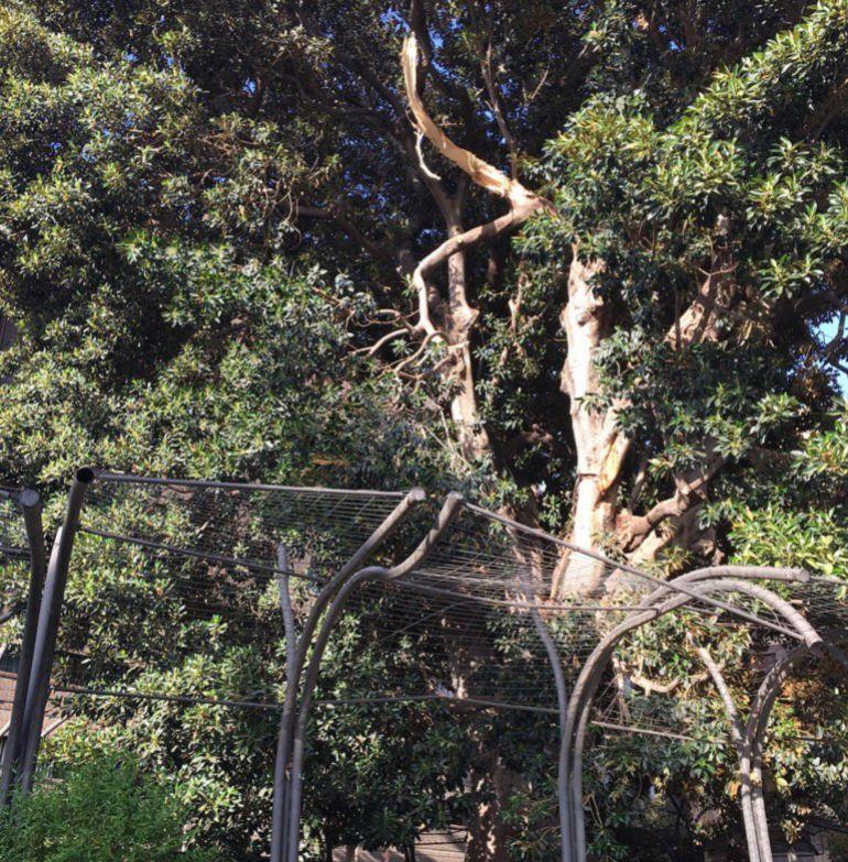 Cae Una Rama De Grandes Dimensiones Del Ficus De Santo Domingo