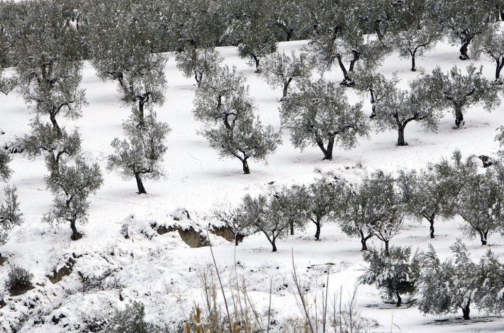 Campo de olivos nevados en Benassau