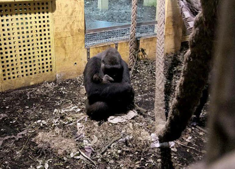 fa45b4628d9a El parque cántabro se consolida como referente internacional en la  reproducción de esta especie en peligro de extinción