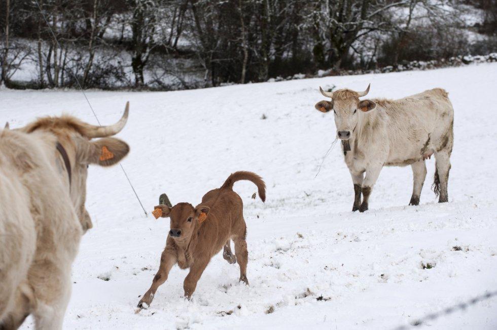 """Las vacas y sus crias """"jugando"""" con la nieve"""
