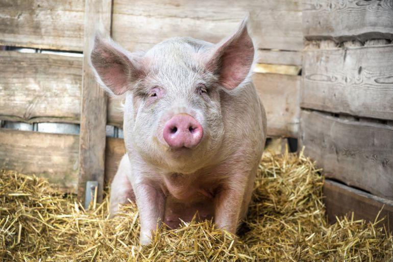 La granja de cerdos de Luzón no necesitará Evaluación de Impacto  Ambiental.: Vía libre para la granja de cerdos de Luzón (Guadalajara) | SER  Guadalajara | Cadena SER