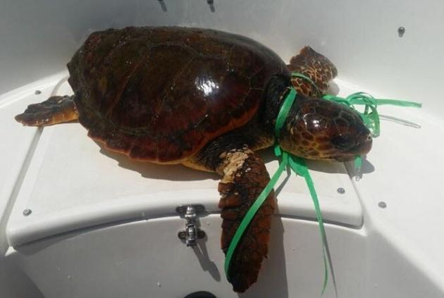 Esta tortuga fue encontrada y recogida en la costa de La Palma atrapada y con síntomas de ahogamiento por un plástico alrededor de su cuello.