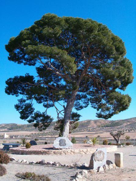 Uno de los pinos que da nombre a la pedanía jumillana de Fuente del PIno