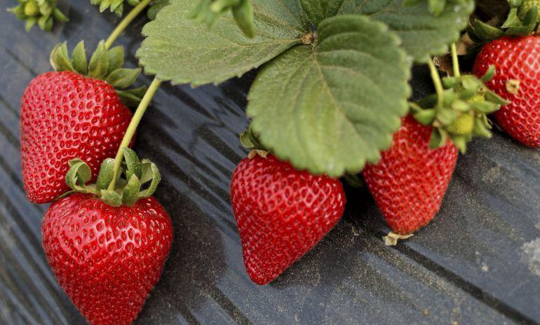 beneficios de las fresas para bajar de peso