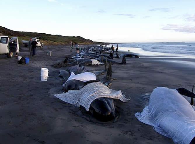 Mueren 130 De Las 200 Ballenas Varadas En Australia