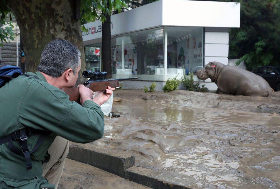 Imagen proporcionado por la oficina de prensa del primer ministro de Georgia que muestra a un hombre disparando con una pistola un tranquilizante a un hipopótamo fugitivo durante las graves inundaciones en Tbilisi, Georgia.