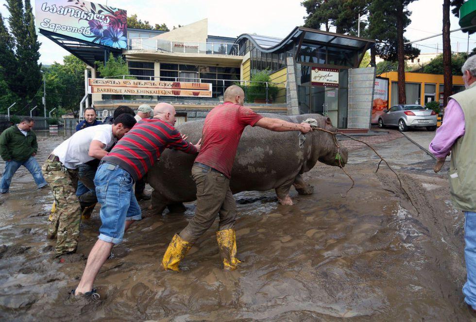 Residentes locales empujan un hipopótamo a lo largo de una calle inundada en Tbilisi. Tigres, leones, jaguares, osos y lobos han escapado de los recintos del zoológico.