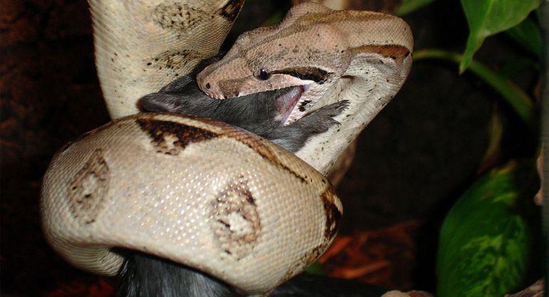 Imagenes De Serpientes Boa