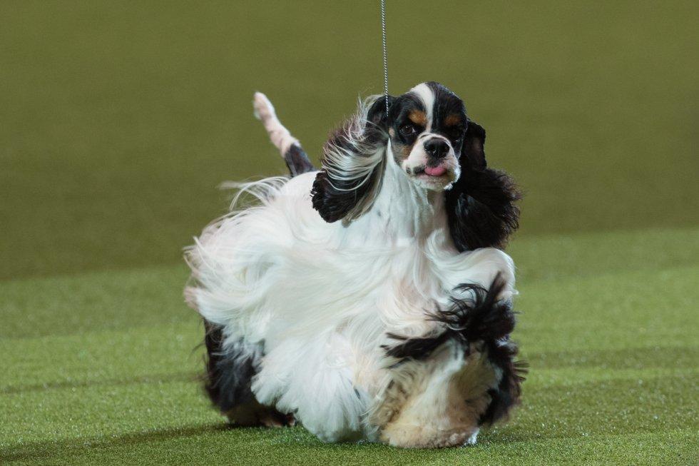 Un cocker spaniel americano llamado 'Miami' ha sido el ganador del primer premio en la exhibición canina británica 'Crufts', considerada la más importante del mundo y que se ha celebrado en Birmingham este pasado domingo.