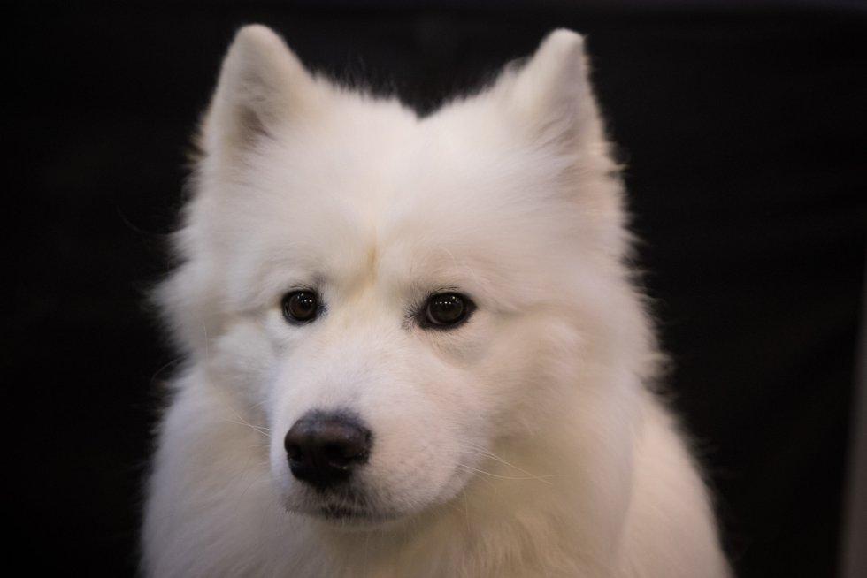 El ganador del concurso de perros más importante del mundo es...