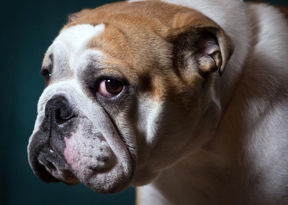 Betty, bulldog inglés de 2 años.