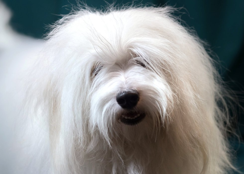 Paddington, un perro miniatura de la raza Cotón de Tuléar de 18 meses.