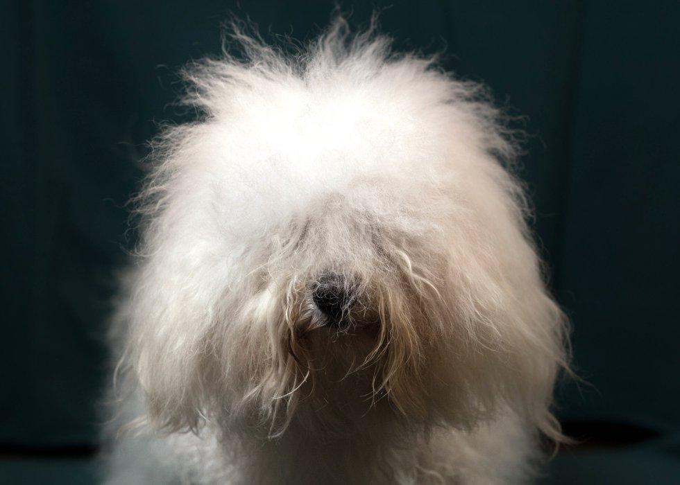 Bentley, perro de raza boloñesa de 3 años.