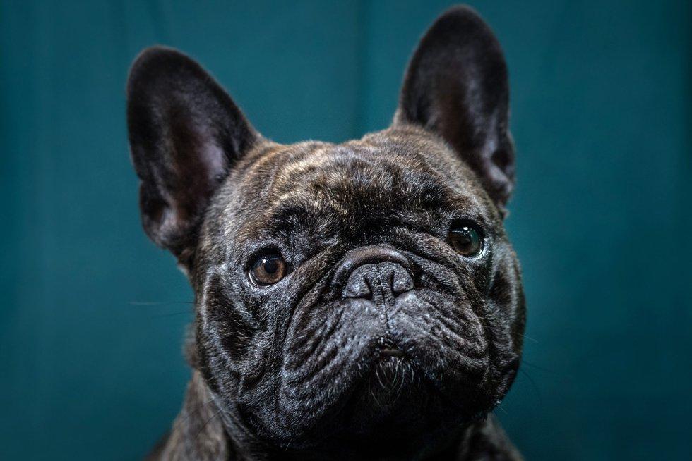 Freddie, bulldog francés de 2 años.