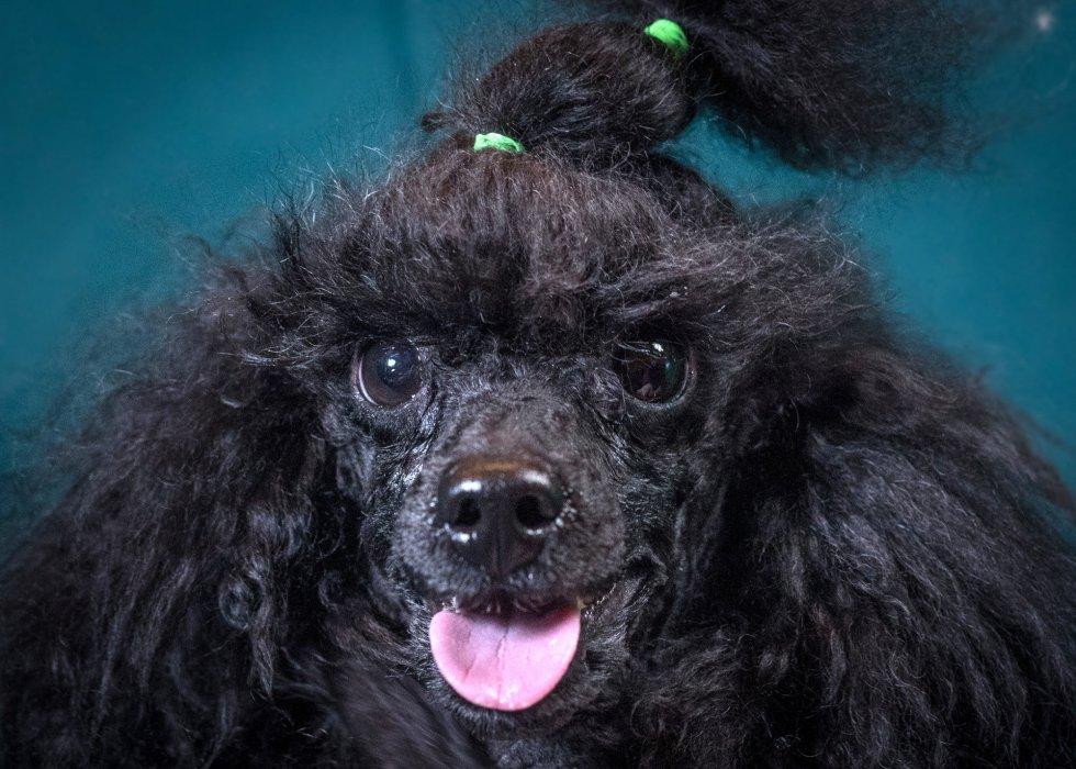 Jackson, de la raza poodle toy, tiene 2 años.