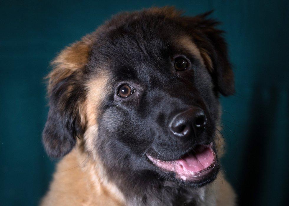 Luca, de la raza portuguesa de la Sierra de Estrela, de 6 meses.