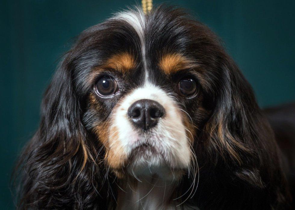 Mork, un Cavalier King Charles Spaniel de 9 meses.