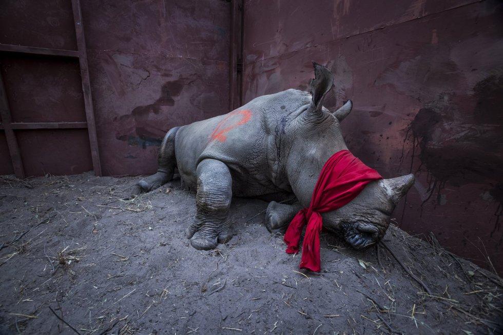 Imagen captada por el fotógrafo Neil Aldrige, ganador del primer premio de la categoría 'Environment - Singles'. La foto muestra a un joven rinoceronte blanco del sur, drogado y con los ojos vendados, a punto de ser liberado en la naturaleza en el delta del Okavango, Botsuana, el 21 de septiembre de 2017, después de su traslado desde Sudáfrica para protegerlo de los cazadores furtivos.
