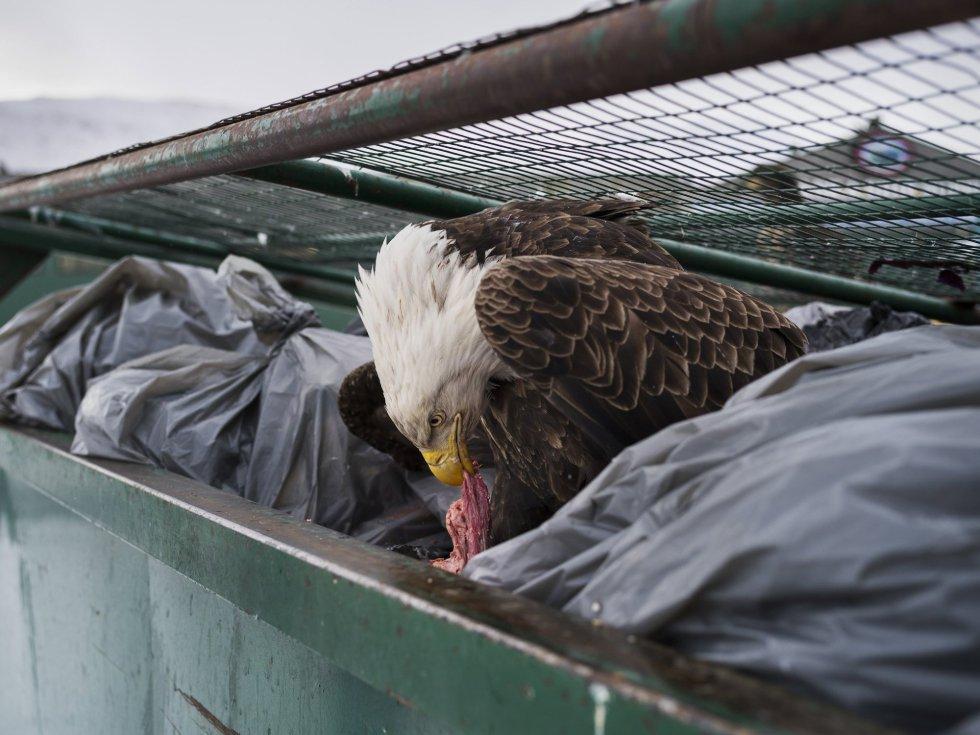 Imagen captada por el fotógrafo Corey Arnold, ganador del primer premio de la categoría 'Nature - Singles'. La foto muestra una águila calva mientras se deleita con restos de carne en los contenedores de basura de un supermercado en Dutch Harbor, Alaska, EE.UU., el 14 de febrero de 2017.