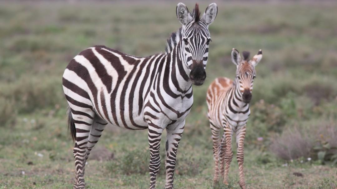 ¿Por qué las cebras tienen rayas? Un nuevo estudio desvela el misterio
