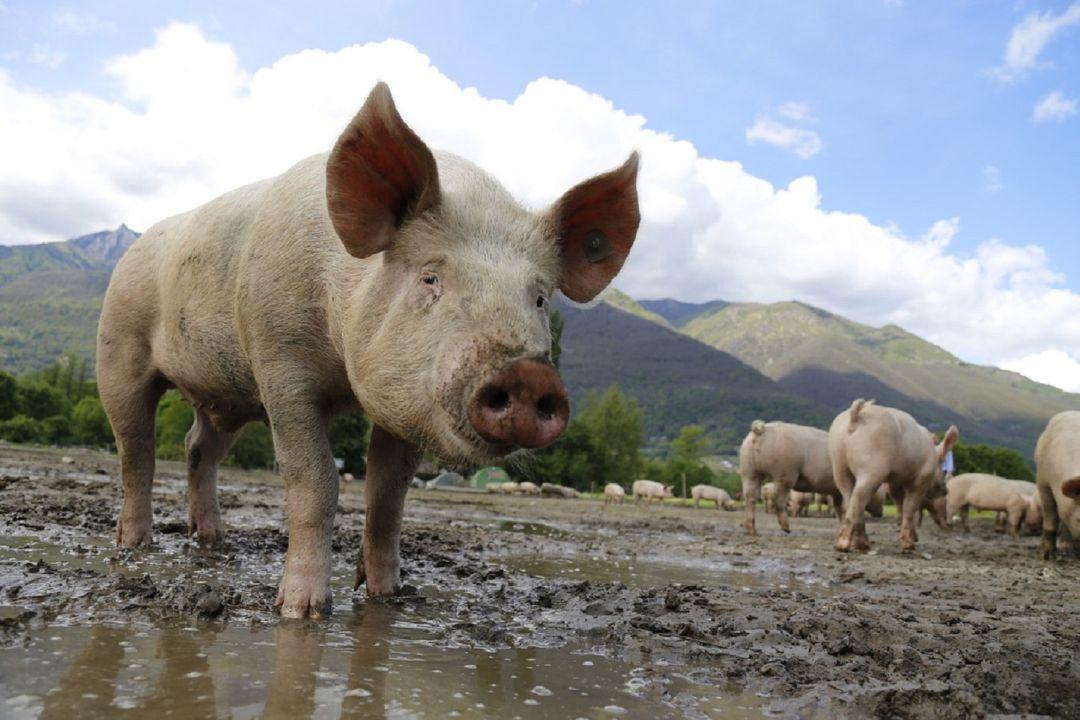 El sector porcino cuenta ya con un laboratorio de inseminación en Segovia capital