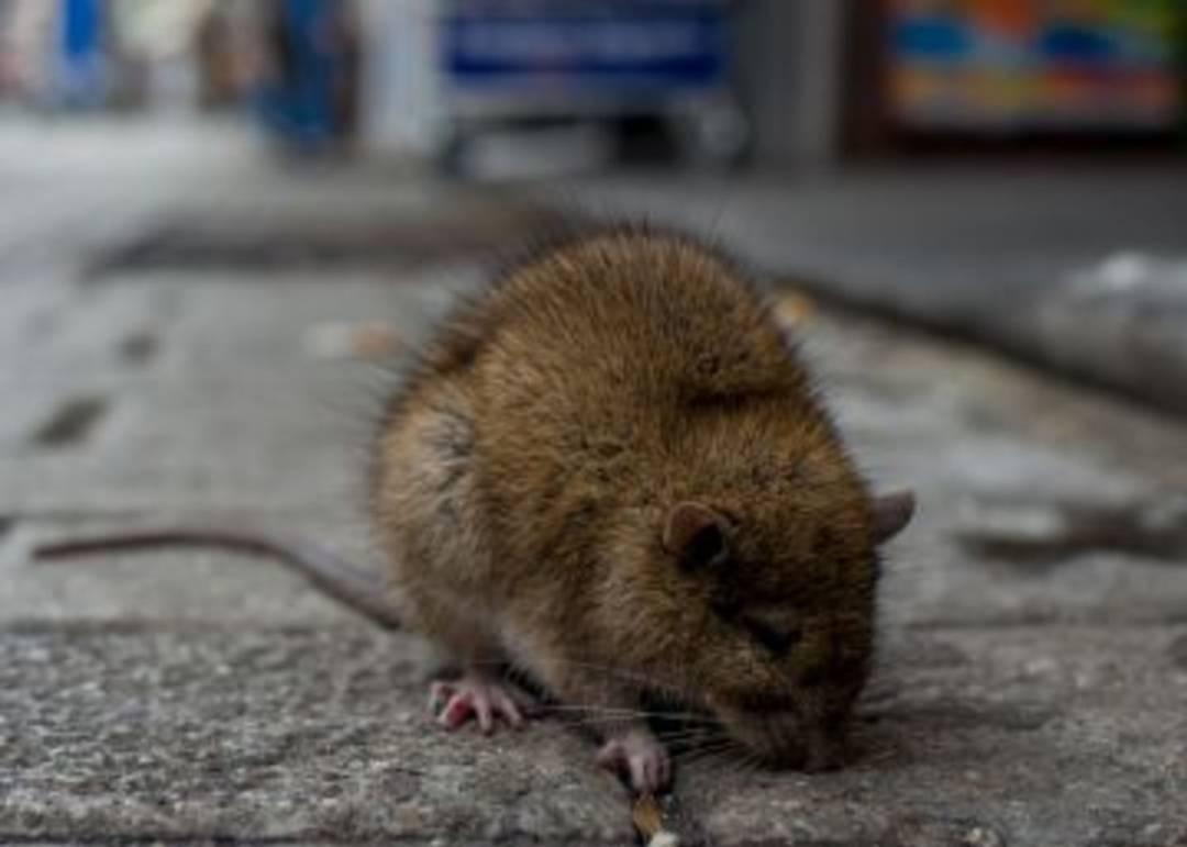 Las ratas dejan sin internet a vecinos del entorno de la Plaza Juan Vollmer en Irun