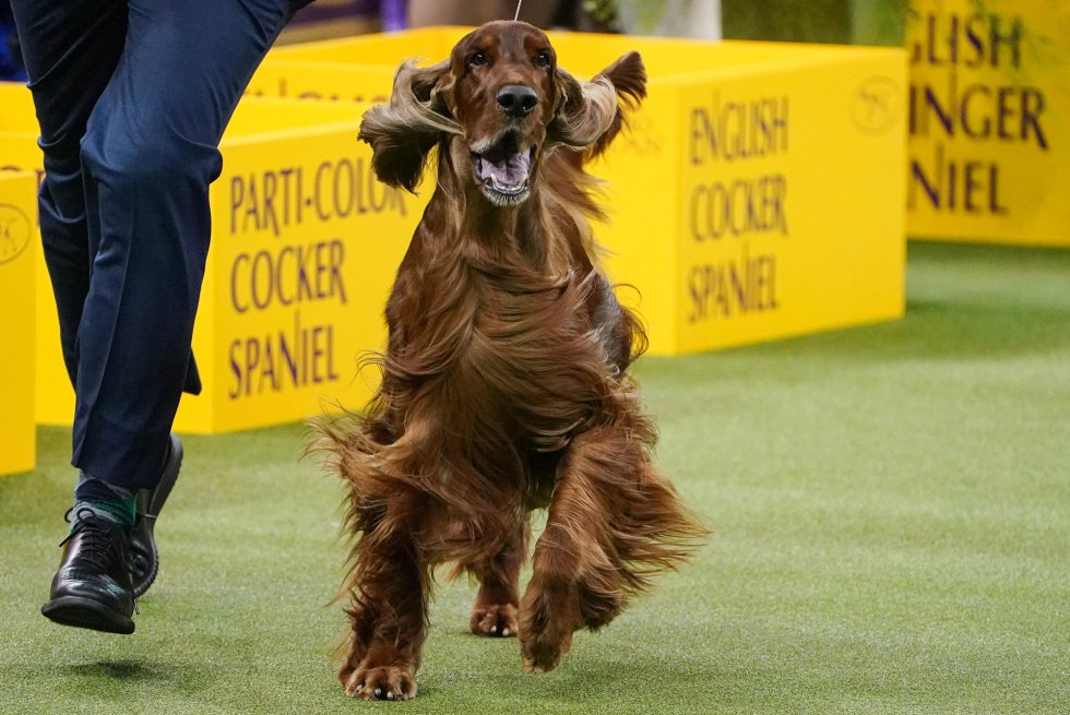 Un Field Spaniel participa en el Westminster Kennel Club Dog Show.