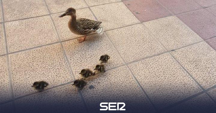 """""""Nos los hemos encontrado saltándose el confinamiento"""": la familia de patos que enternece a las redes"""